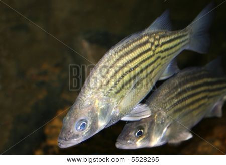 Amarelo Bass (morone Mississippiensis)