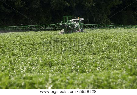 Spraying Green Beans With Insecticide