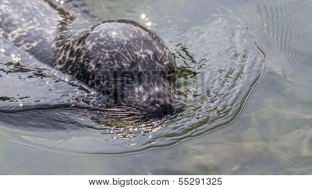 Harbor Seal In Glittering Water