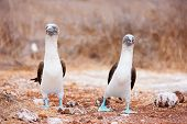 foto of booby  - Couple of blue footed boobies performing mating dance - JPG