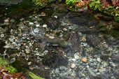 image of upstream  - After a long journey from the ocean, salmon rest as they swim upstream in a small creek to spawn.