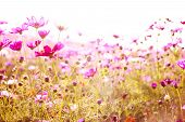 stock photo of cosmos flowers  - Cosmos flowers in blooming with sunset - JPG