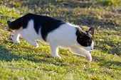 Black And White Domestic Cat On The Meadow Is Sneaking To Hunt For Food