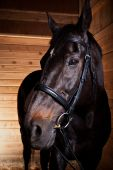 stock photo of black horse  - A portrait of a black horse in a barn - JPG
