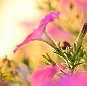 picture of ipomoea  - morning glory - JPG