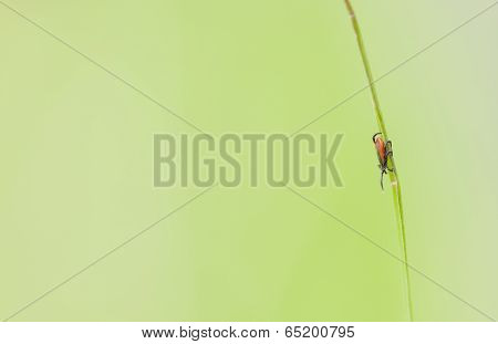 Little Tick On A Green Plant Straw
