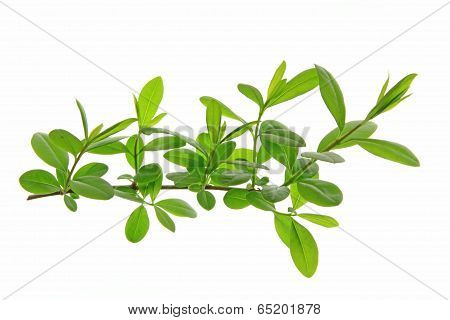 Privet (Ligustrum vulgare)