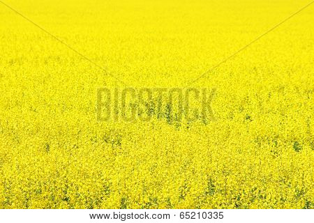 Canola Field, Yellow Rape Flowers, Rapeseed