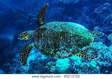 Big turtle swimming undersea, beautiful exotic water animal, wonderful marine life, summer travel and vacation concept