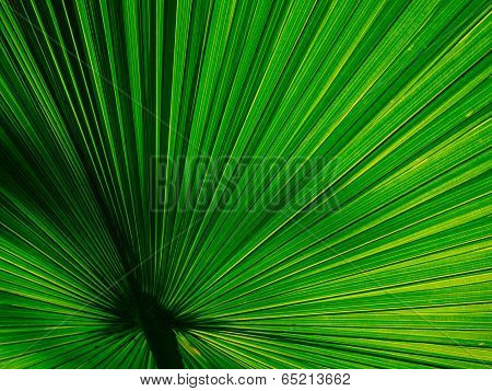 Beautiful Fan Palm Line