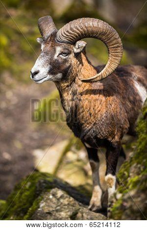 The mouflon (Ovis orientalis)