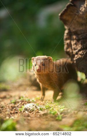 Wild  ferret in forest