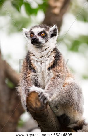 Ring-tailed Lemur (Lemur catta) sitting on tree