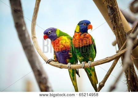 Parrot couple with red beak