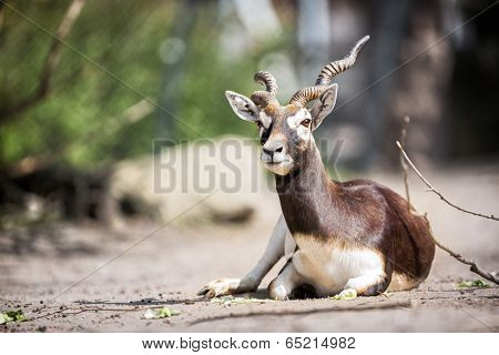 Portrait of beautiful  Mhorr gazelle (Gazella dama mhorr)