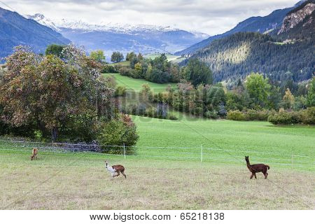 Alps landscape with alpacas near Filisur, canton Graubunden, Switzerland