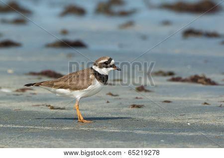 A Lovely Ringed Plover (charadrius Hiaticula) In Profile On The Beach