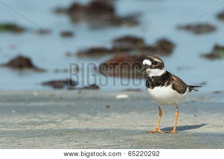 Adorable Ringed Plover (charadrius Hiaticula) On The Beach