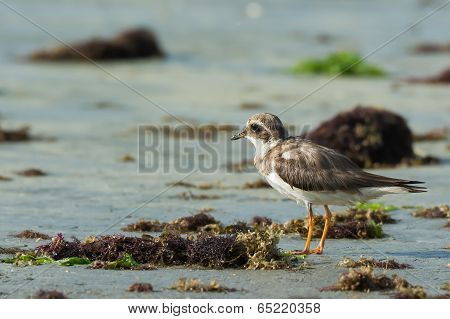 Ringed Plover (charadrius Hiaticula) Looking Out Over The Seaweed Strewn Beach