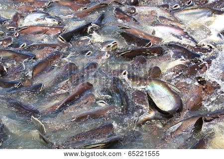Iridescent Shark Fish Or Sawai Fish In River Of Thailand