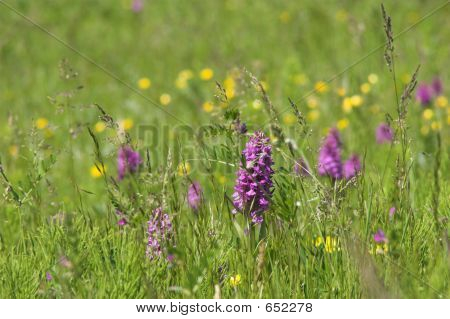 Wild Orchids In Meadow