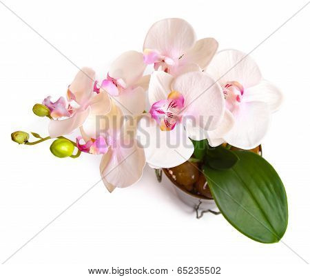 Flower Pot With Orchid Isolated On White