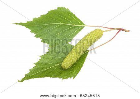 Birch Sprig