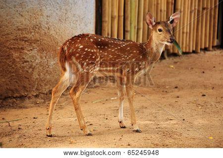 Female Axis Deer