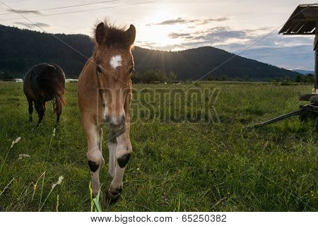 Young Colt With Sun Setting Down