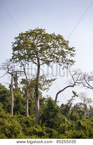 Relatively Young Baobab Trees