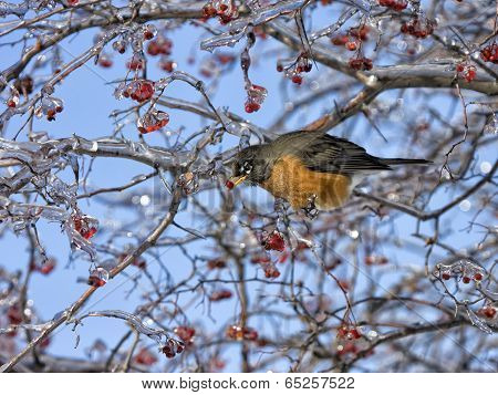 Robin with Icy Red Berries in Beak