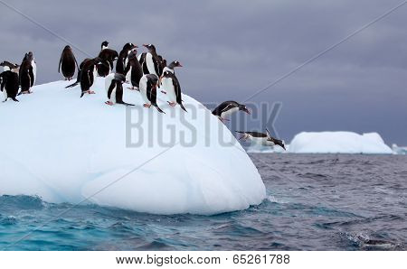 Gentoo Penguins jumping off of iceberg