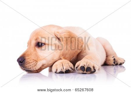 sad little labrador retriever puppy dog with head on paws looks away to its side on white background