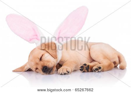 cute little labrador retriever puppy dog wearing bunny ears is sleeping on white background