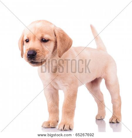 adorable barking little labrador retriever puppy dog standing on white background