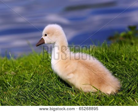 White Swan Cygnet On The Grass