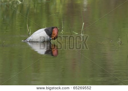 Redhead Duck Preening Itself.