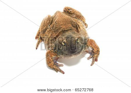 the thai  bullfrog