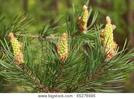 Flowering In May Pine In Central Russia