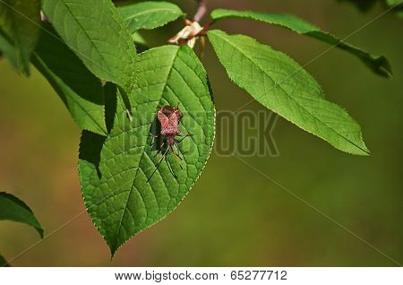 Forest Bug On  Bird Cherry Leaves.