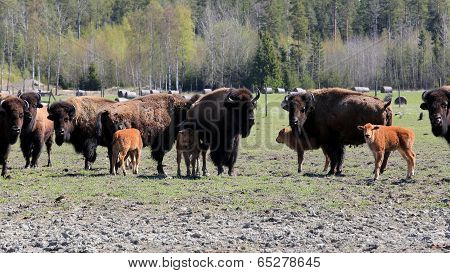 Herd Of American Bisons Grazing At Spring