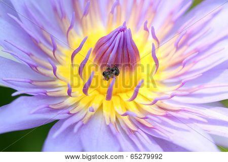 Purple Macro Petals Of Lotus.