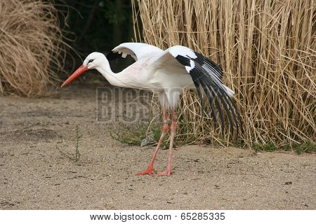 Stork with spread wings