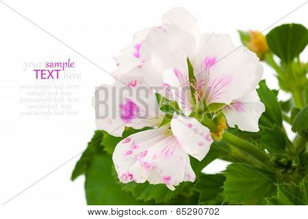 Pelargonium - Commonly Known As Geraniums.  The Family Geraniaceae. On A White Background.