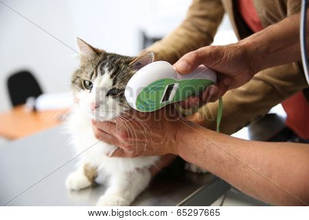 Cat being examined in vet clinic