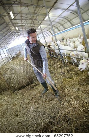 Breeder in barn gathering hay for animals