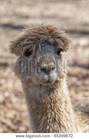 Crazy Alpaca  Hairdo - Vicugna pacos