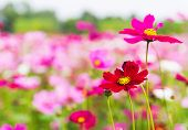 picture of cosmos flowers  - Field of pink cosmos flowers in Thailand - JPG