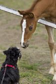 image of foal  - Foal and dog smelling each other on ranch - JPG