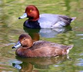 foto of ducks  - Couple of Redhead Ducks Female Duck swimming in front and male in back - JPG
